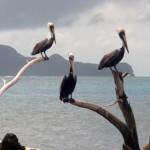 Pelikane für Regina