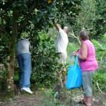 beim Orangenpflücken