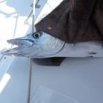 ein doppelt gefährlicher Fang