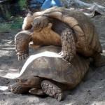 Riesenschildkröten beim ...