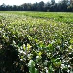 Teefelder in Nordamerika