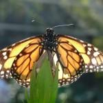 der einzige Bewohner des Schmetterlingshauses der Plantage