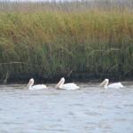 die ersten weißen Pelikane