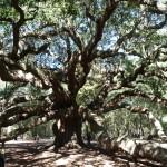 einer der ältesten Eichenbäume dieser Gegend