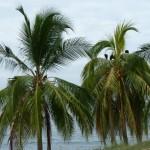 Geier auf der Palme