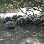 ein Schildkrötenrudel