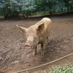 Riesenschwein