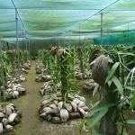 Vanilleplantage