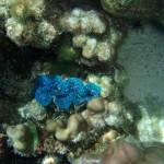 farbenprächtige Riesenmuscheln