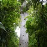 der Gebieter des Waldes ist 51,5m hoch