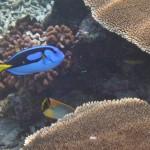 ein Paletten-Doktorfisch