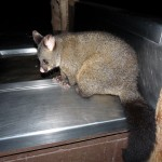 Possum am Grill